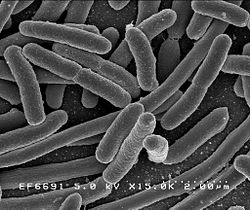 Proteobacteria are one of many microbial species that are commonly found on ice surfaces (ph. wikimedia)