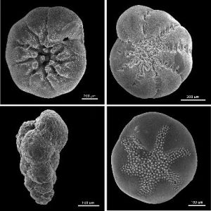 SEM micrographs of four benthic foraminiferans (ventral view) from the USGS. Clockwise from top left: Ammonia beccarii, Elphidium excavatum clavatum, Buccella frigida, and Eggerella advena. Source: Wikimedia Commons