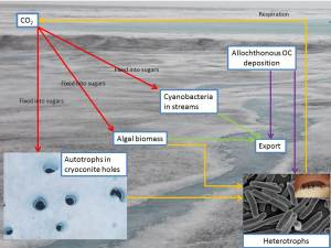 Simplified schematic of glacier surface C fluxes which contribute to albedo lowering