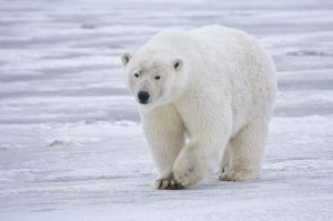 Polar bears are in jeopardy because they rely upon sea ice to feed. (ph credit: www.naturespicsonline.com, creative commons licence)