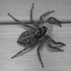 This species of salticid spider was found on snow slopes on Everest (ph. Wikimedia Commons)