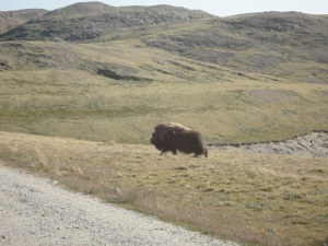 One of the bigger musk ox (M Sweet)