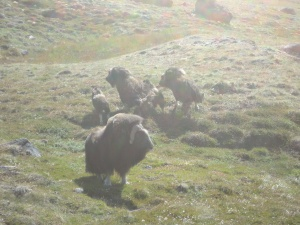 Musk ox family (M Sweet)